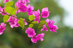 The beautiful flowers. In thailand Stock Photo