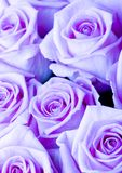 Beautiful flowers. Rose (Rosa), a kind of flower which belongs to the rose-like family, includes over 200 species (according to some researchers up to a few stock images