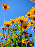 Beautiful Flowers. In the sun having the blue sky as background Stock Images