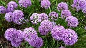 Beautiful flowers, Allium Millenium Stock Photography