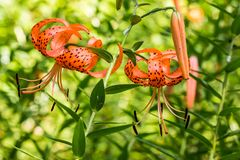 Dangling Tiger Lilies. These beautiful flowers are also generically referred to as a Turk's Cap Lily due to their recurve shaped petals.  We can also see a few Royalty Free Stock Photo