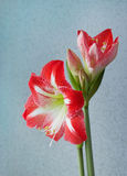 Beautiful flowers amaryllis bloom in spring Royalty Free Stock Photography