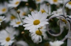 Beautiful flowers on Ambato Ecuador. Colorful flowers at the parks of Ambato - Ecuador stock images