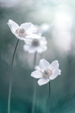 Beautiful flowers of anemones on a gentle background. Artistic image. Selective focus Stock Photos
