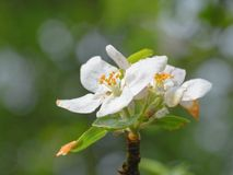 Beautiful flowers of apple. Stock Images