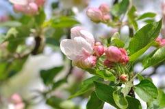 Beautiful flowers of an apple tree Stock Photo