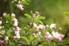 Beautiful flowers on the apple tree in nature Royalty Free Stock Photos