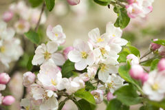 Beautiful flowers on the apple tree. In nature Stock Photography