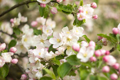 Beautiful flowers on the apple tree. In nature Stock Photo