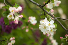 Beautiful flowers on the apple tree. In nature Royalty Free Stock Photos