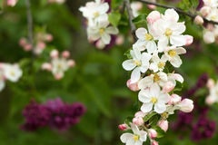 Beautiful flowers on the apple tree Royalty Free Stock Photography