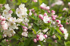 Beautiful flowers on the apple tree Royalty Free Stock Image