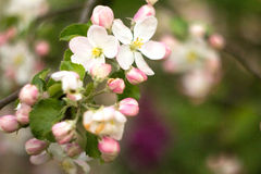 Beautiful flowers on the apple tree Royalty Free Stock Photos