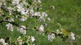 Beautiful flowers on the apple tree, spring flowers. Blossom apple tree. Beautiful flowers on the apple tree, spring flowers stock video footage