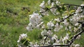 Beautiful flowers on the apple tree, spring flowers. Blossom apple tree. stock footage