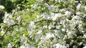 Beautiful flowers on the apple tree, spring flowers. Blossom apple tree. Beautiful flowers on the apple tree, spring flowers stock footage