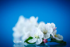 Beautiful flowers of apple trees Royalty Free Stock Photos