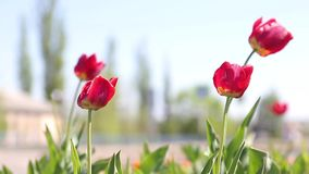 Beautiful flowers background. Closeup and amazing view of growing red tulips flower field under sunlight in the middle stock video