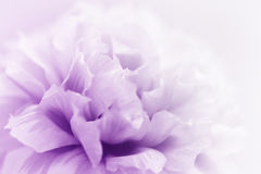 beautiful flowers Royalty Free Stock Photography