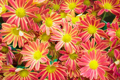 Beautiful flowers background with red and Yellow chrysanthemum Stock Images