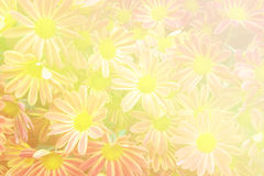 Beautiful flowers background with red and Yellow chrysanthemum Royalty Free Stock Photos