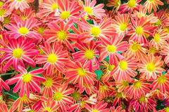 Beautiful flowers background with red and Yellow chrysanthemum Stock Photos