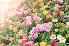 Beautiful flowers bed in garden with flare light Royalty Free Stock Photos