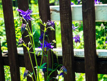 Beautiful flowers bells  background  fence. Beautiful flowers bells in the background of the fence Royalty Free Stock Image