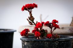 Beautiful red flowers in a pot stock images