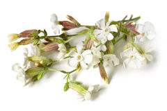 Beautiful flowers of the Bladder Campion Stock Photography