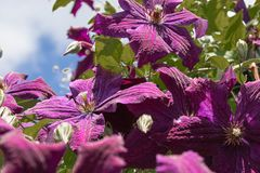 Beautiful flowers blooming clematis. A large clematis bush grows in the garden royalty free stock image