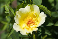 Beautiful flowers blooming  in the garden at sunny summer or spr Stock Images