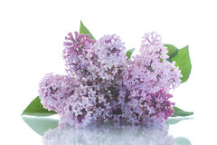 Beautiful flowers blooming lilac Stock Photography