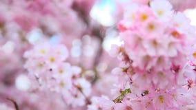 Beautiful flowers blossom of sakura tree stock video footage