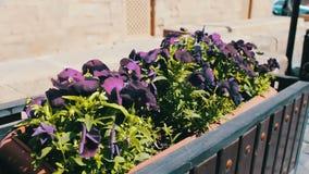 Beautiful flowers of blue petunia in flower-bed on the street of Baku, Azerbaijan stock video footage