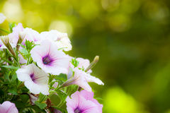 Beautiful flowers with blur bokeh background. Beautiful flowers with blur green background in the garden, Use nature light royalty free stock photos
