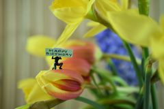 Fresh flowers of daffodils and tulips with words or text for happy birthday. Beautiful flowers of bright yellow daffodils and red tulips with background blue royalty free stock images