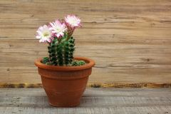 Beautiful flowers of cactus. Cacti / Beautiful flowers of cactus Stock Images