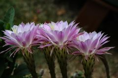 Beautiful flowers of cactus. Cacti / Beautiful flowers of cactus Stock Image