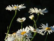 Daisies, flowers, nature, garden, field, outdoors, petals, beauty, beautiful, white, yellow stock photos