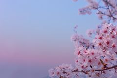 Beautiful flowers Cherry blossom in spring softly blurred background. Cherry blossom in spring softly blurred background royalty free stock images