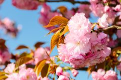 Beautiful flowers of cherry blossom on a sunny day. Lovely springtime background Stock Photography