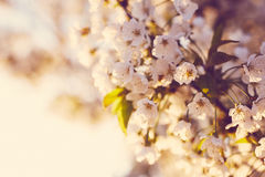 Beautiful flowers of the cherry blossoms Stock Photography