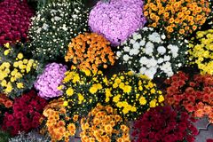 Beautiful flowers of chrysanthemum Stock Images