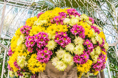 Beautiful flowers of chrysanthemums Stock Images