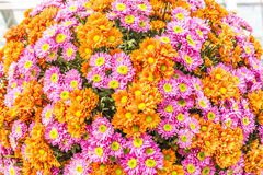 Beautiful flowers of chrysanthemums Royalty Free Stock Photography