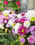 Beautiful flowers of chrysanthemums Stock Image