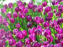 Purple tulips. Beautiful flowers from city park Royalty Free Stock Image