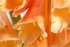 Beautiful flowers of Clivia miniata, close up Royalty Free Stock Image