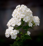 Beautiful flowers. Royalty Free Stock Photo